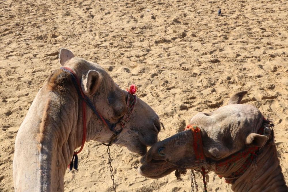 dos camellos besándose